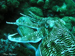 Pharoah Cuttlefish (Khun Charin) Tags: thailand marine underwater diving olympus mating cuttlefish reproduction corals underwaterphotography similanislands c5060wz kohbon pharoahcuttlefish