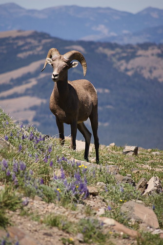 big horn sheep! - check.
