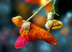 Jewelweed (Uncle Phooey) Tags: red orange flower explore missouri wildflower ozarks impatiens jewelweed touchmenots impatienscapensis mywinners vosplusbellesphotos unclephooey hnff niftyfiftyfriday takumar50mmf14m42