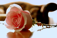 the awsome GUCCIA (~lolaa~) Tags: pink rose friend know awesome more u dear xd deserve guccia