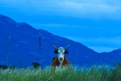 (Silent Observer) Tags: blue sunset arizona moon mountain desert cattle tucson dusk d70s fullmoon plains lunar rincon 838 18200mmvr redingtonpass
