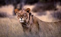 Young Kalahari pride (ninoximages) Tags: kalahari animalkingdomelite