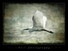 White heron (tzil) Tags: white bird bravo textured firstquality heliography tzil mywinners superaplus aplusphoto infinestyle ysplix theunforgettablepictures magicdonkeysbest imagescollectors thewonderfulworldofbirds