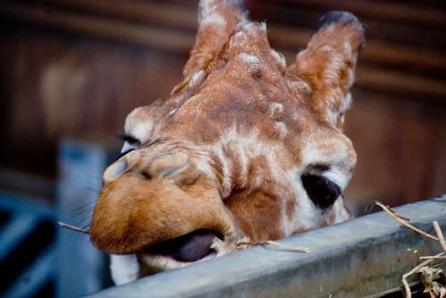Giraffie Eating