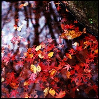 fallen leaf on water (HASSELBLAD 500C/M)