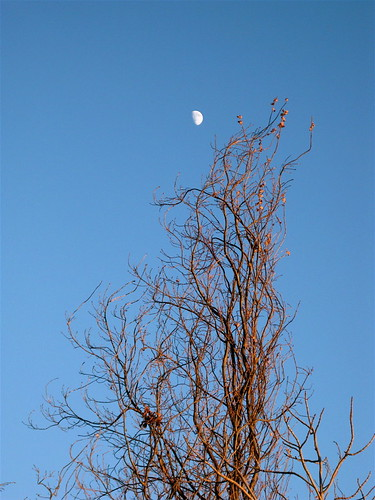 Afternoon moon and winter branches