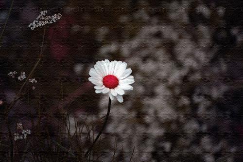 Alone - a photo of a daisy