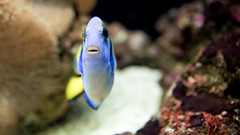 dory (poopoorama) Tags: seattle fish aquarium washington nikon sigma regalbluetang d300 1850mmf28exmacrohsm