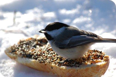 Black-capped Chickadee - mid snack