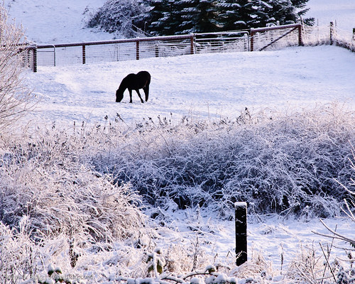 Horse Searching for Grass in the Snow (by Steve G. Bisig)