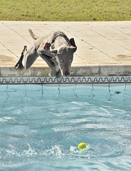 fetch (Vichi .) Tags: summer dog pool naturallight piscina perro verano pileta ramon pelota asuncin aereal vuela