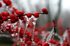 Icicles (Catznbirdz) Tags: winter red soe icicles winterberry frozenrain catznbirdz
