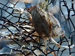 next stop pot (shaney442) Tags: blue net yum alabama shell crab pot supper caught trap crabmeat fortmorgan bonsecourbay