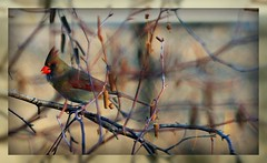 Female Northern Cardinal (bokeh) (mightyquinninwky) Tags: tree bird nature fauna geotagged mirror backyard dof cardinal bokeh kentucky framed branches depthoffield ave limbs seedpods backyardbird picnik redbird westernkentucky northerncardinal riverbirch unioncountykentucky femalenortherncardinal backyardnature backyardfauna avianphotography morganfieldkentucky geo:lon=87905501 geo:lat=37693134 femaleredbird thecommonwealthofkentucky thebluegrass