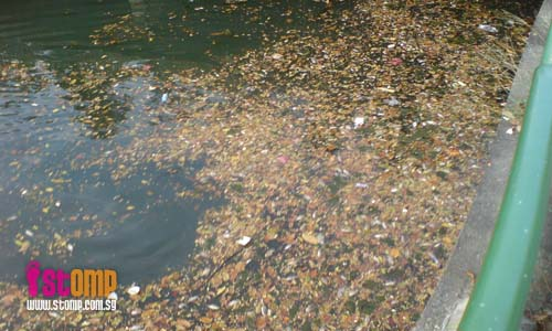 Dead fish clog this waterway near Toa Payoh flyover