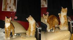 20081120 - Cats Vs. bubbles - 172-7230 - Lemonjello, Oranjello - on couch - diptych - 172-7228 (Rev. Xanatos Satanicos Bombasticos (ClintJCL)) Tags: alexandria animal cat virginia diptych looking bubbles couch upstairs bubble 2008 lemonjello pawing clintandcarolynshouse tiltinghead 200811 oranjello 200