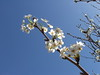 Blossoms in the Japanese Friendship Garden in Phoenix, Arizona