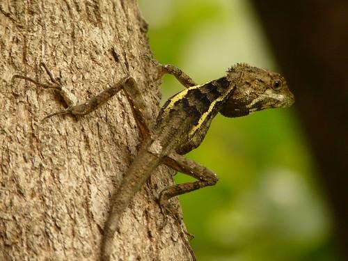 Swinhoe's Japalura (Japalura swinhonis) - 斯文豪氏攀蜥