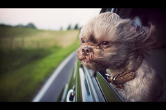 Not A Care In The World (Ian Wedlock) Tags: dog window car canon ian wind shih tzu 24mm wedlock