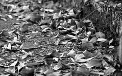 Hojas - Blanco y Negro (myrmardan) Tags: hoja leaf foglia folha blatt feuille