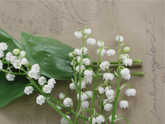 lily of the valley botanical diagram 008