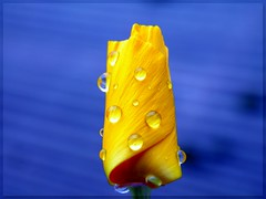 iceland-poppy in the rain (© the-best-is-yet-to-come ©) Tags: abigfave anawesomeshot colorphotoaward flickrdiamond macrolife 100commentgroup mygearandme mygearandmepremium blinkagain dblringexcellence tplringexcellence bestofblinkwinners eltringexcellence