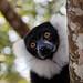 Madagascar Ankanin'Nofy Palmarium lemur