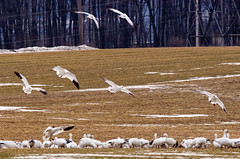 IMG_0849_edited-1 (buddy4344) Tags: wildlife snowgeese copyrightbuddyeleazer