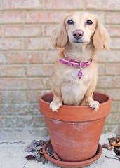 Honey Pot (Doxieone) Tags: dog cute english long cream dachshund pot honey blonde haired coll longhaired honeydog englishcream honeyset