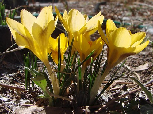 "Crocus • <a style=""font-size:0.8em;"" href=""http://www.flickr.com/photos/10528393@N00/2304651185/"" target=""_blank"">View on Flickr</a>"