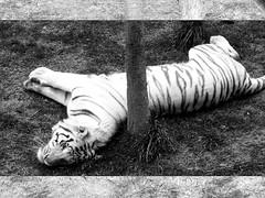 Rayado (ANKTSUNAMUNH) Tags: animal animals zoo stripes tiger zoolgico animales tigre ank rayado bengala zacango anktsunamunh