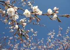 Branching Blossoms (Kurlylox1) Tags: flowers trees washingtondc spring sakura cherryblossoms capitolhill yoshino blueribbonwinner golddragon superbmasterpiece superbmasterpice excellentphotographerawards