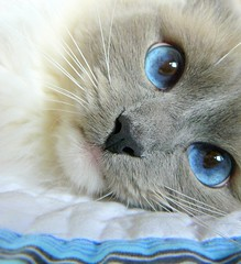 innocence (champagne.chic) Tags: blue cat wonder eyes wide innocence eyed ragdoll avision platinumphoto impressedbeauty