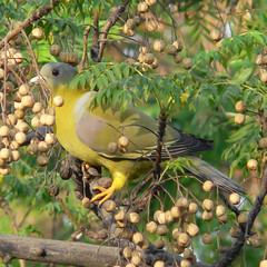 Yellow-footed green Bengal pigeon (Vani Kurup) Tags: bird nature pigeon naturesfinest goldaward mywinners abigfave abigfav platinumphoto impressedbeauty superbmasterpiece diamondclassphotographer flickrdiamond brillianteyejewel excapture platinumphotograph spiritofphotography ourmasterpieces salveanatureza yellowfootedgreenbengalpigeon earthanditsincredibleanimals