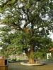 竹山鎮中和里救人老茄苳樹DSCN0202