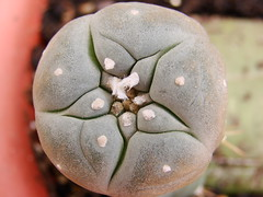 Lophophora williamsii (-Kaesar-) Tags: cactus peyote trichocereus williamsii injerto bridgesii lophphora