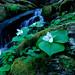 Trillium and Small Waterfall by Bernie Kasper