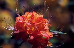 Blue Ridge Flame Azalea #1 -5/2005 (wanderingYew2 (thanks for 3M+ views!)) Tags: flower film geotagged virginia nationalpark flora rhododendron azalea wildflower blueridgemountains blueridgeparkway filmscan flameazalea allamericanroad nationalparkway