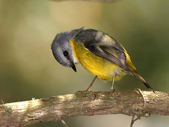Eastern Yellow Robin (Eopsaltria australis) (David Cook Wildlife Photography (kookr)) Tags: birds australia act birdwatcher australianbirds easternyellowrobin boodereenationalpark eopsaltriaaustralis kookr