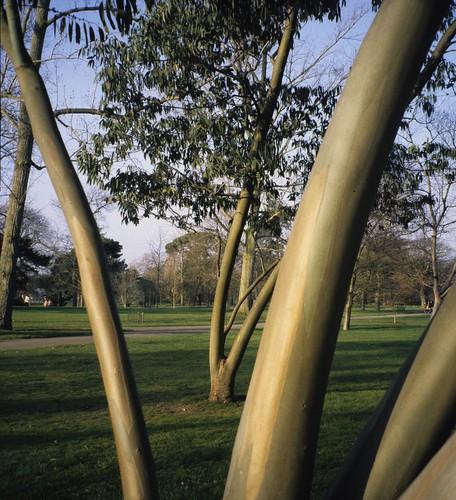 Eucalyptus - aromatic plants at Aromahead
