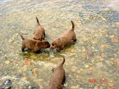 Rose's pups 5 weeks