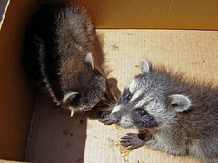 Baby raccoon RESCUE ~ 2 of 4 photos (Urban Woodswalker) Tags: rescue cute nature animal forest lost furry woods babies fuzzy wildlife urbanwildlife creatures mammals raccoons resuce urbanwoodswalker