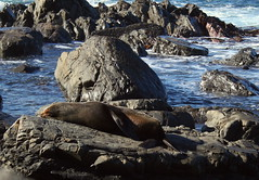 seal (sergiodeathstar) Tags: bear newzealand dinner lazy seal wellington polar sergiodeathstar
