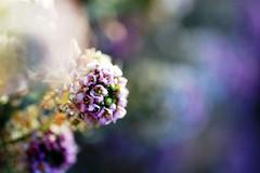a monet moment (*sapa*) Tags: flowers bokeh monet moment alyssum moreregularprogramming