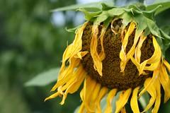 Rag Tag (Susan Isbell Images) Tags: old summer flower garden sad sunflower bloom thumbsup dying twothumbsup photofaceoffwinner pfogold pfosilver thumbsupunaimouswinner froglover1979