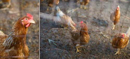 Berryhill Chickens
