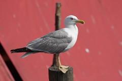 Gabbiano (Claudio®) Tags: bird canon uccelli gabbiano chioggia 450d magoga chicècè incontrianordest incontrodidomenica6luglio2008chioggiachicè