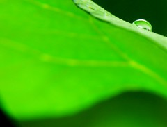 P1300727 (CANDYTANGERINE) Tags: plant macro green water up close bean droplet runner wate