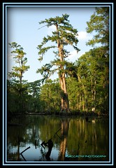 Sunset Cypress (MSMcCarthy Photography) Tags: louisiana swamp cypress baldcypress