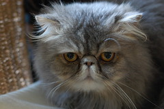 ♥ My persian cat  ♥